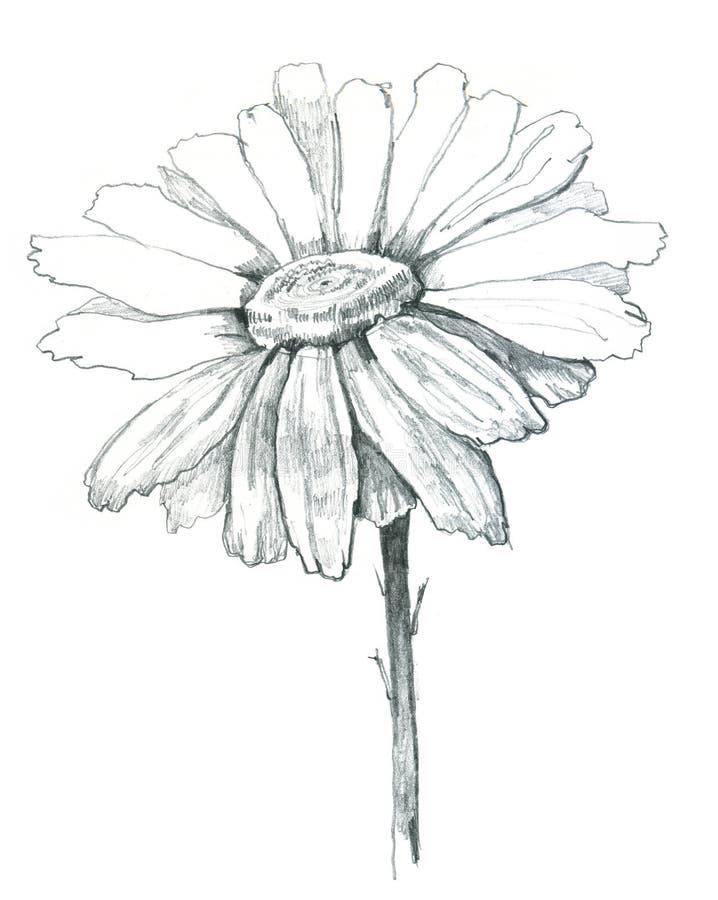 Attraction de marguerite illustration de vecteur