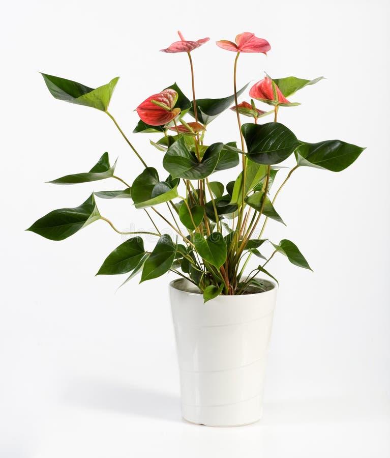 Attractive Anthurium Flower Plant on White Pot. Close up Attractive Genus Anthurium Flower Plant, Konwn as Flamingo Flower, on White Pot Isolated on White stock photos