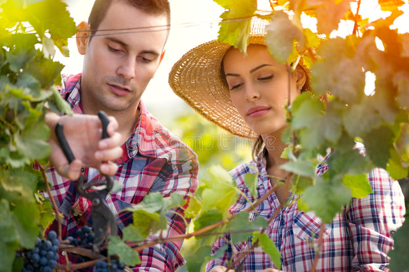 Attractive couple picking grapes stock photo