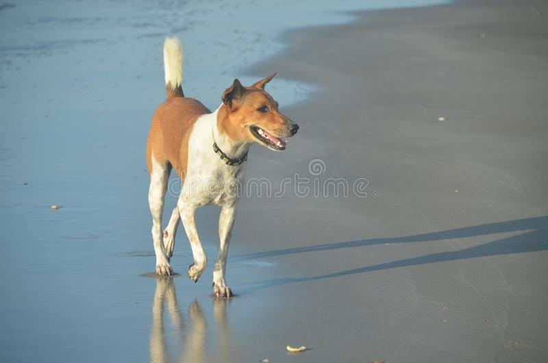 Attractive dog of non specific breed walking on a beach. Thailand. Attractive brown and white dog of non specific breed walking in the ocean waters edge on a stock photography