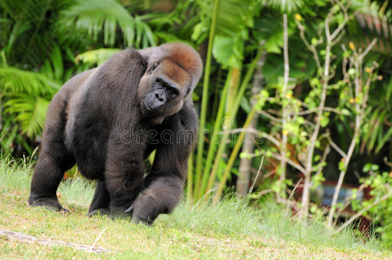 Attractive Female Gorilla royalty free stock photo