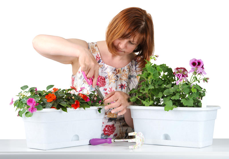 Attractive middle-aged woman with concentration mows shears Pelargonium and Impatiens.. Attractive middle-aged woman with concentration mows shears Pelargonium stock photography