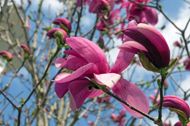 Attractive purple magnolias background in spring stock images