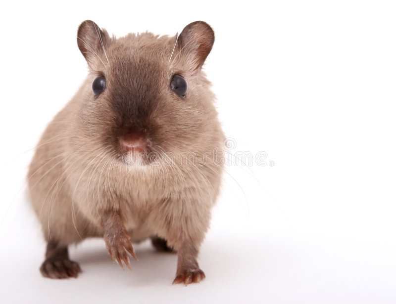 Attractive young male rodent royalty free stock image