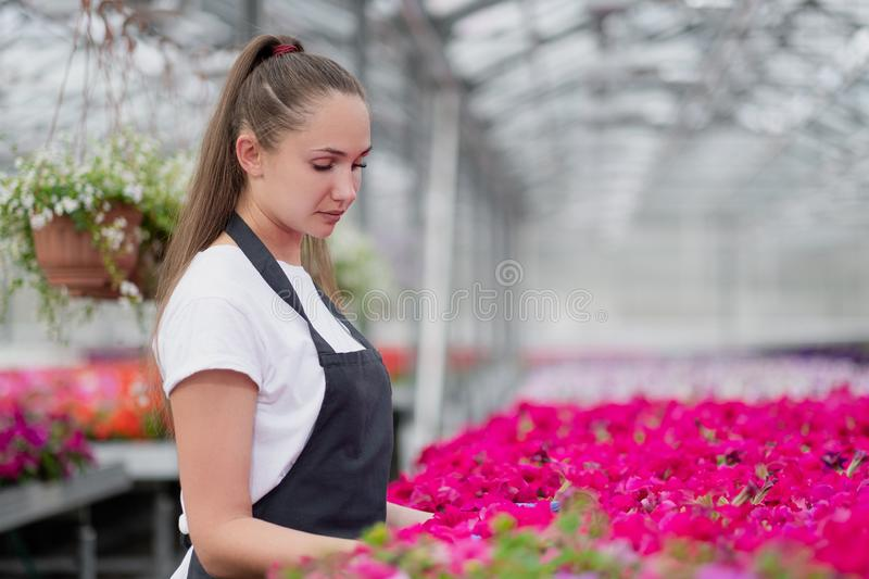 Attractive young woman florist or agronomist in work clothes and apron takes care of pink flowers in large glass stock photos