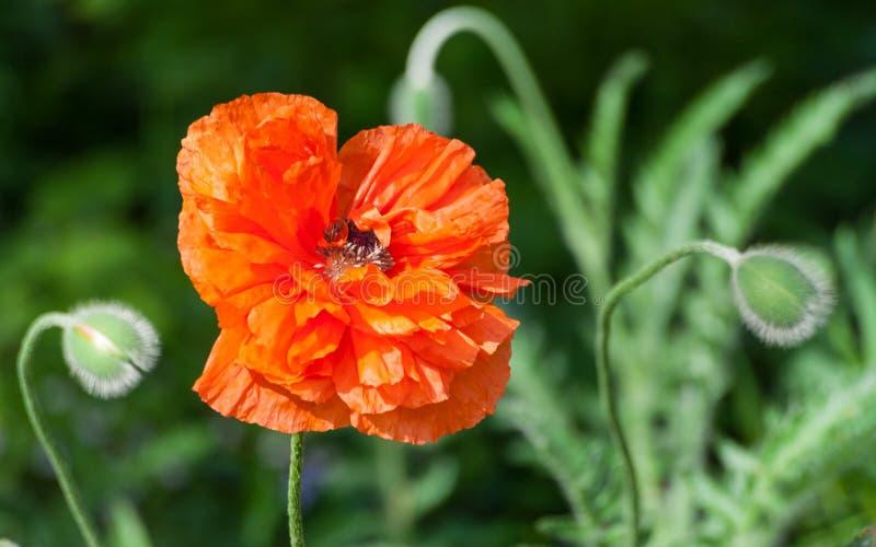 Attrapeur d'oeil de pavot, grand pavot rouge-orange de fleur de Terry images libres de droits