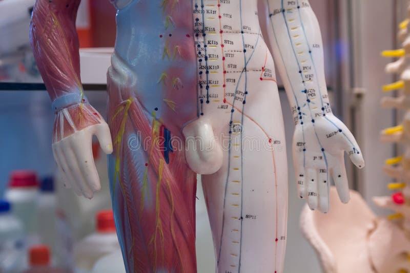 Attrappe mit dem Bild intern ein menschliches Organ f?r das Studieren lizenzfreie stockbilder
