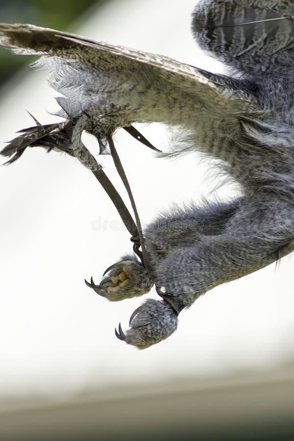 Attrezzatura di caccia col falcone - Jesses immagini stock