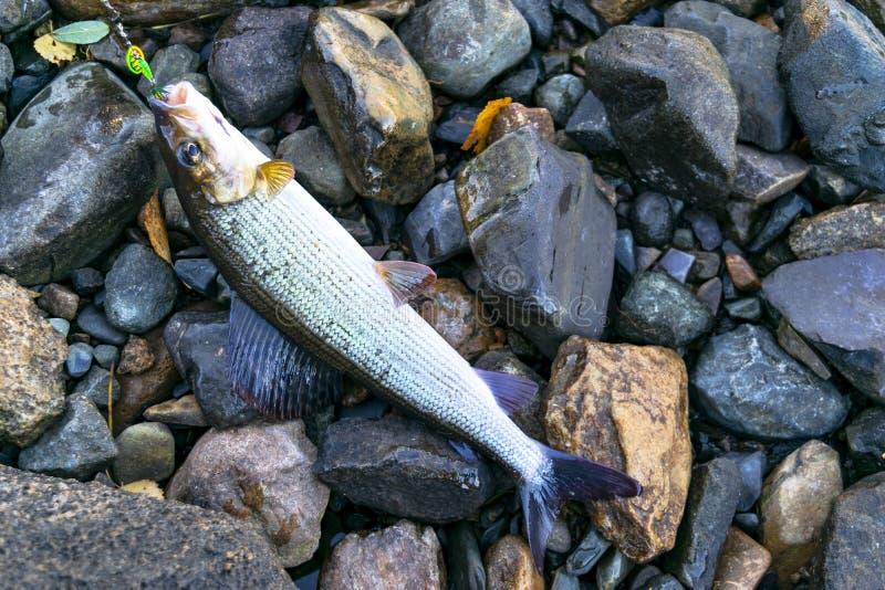 Attrezzatura di pesca con la mosca presa temolo Pescatore che libera un temolo artico Il pesce del temolo ha preso il filatore da fotografia stock libera da diritti