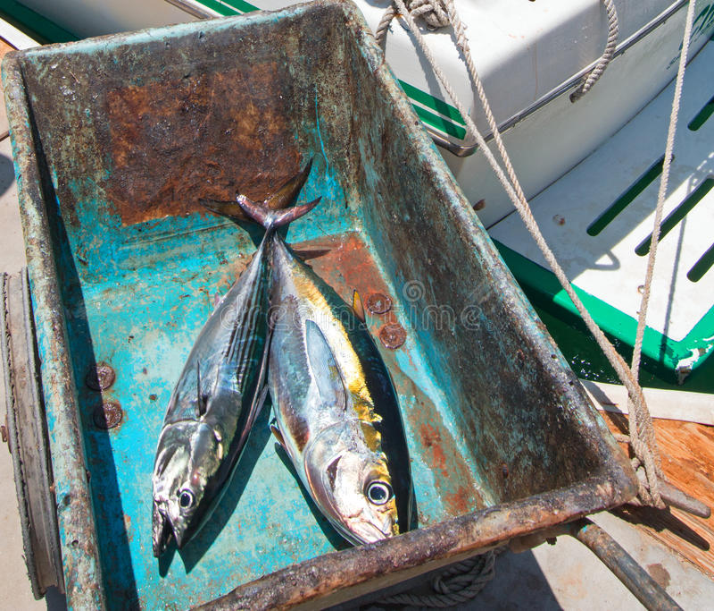 Atum e Bonita Mackerel de Ahi do atum amarelo em sua maneira à tabela da faixa em San Jose Del Cabo Baja Mexico fotografia de stock royalty free