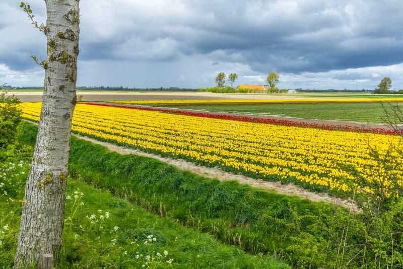 Aturdiendo, campo vibrante del tulipán con la casa de la granja en el fondo fotografía de archivo