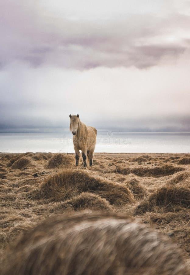 Aturdindo a fotografia da paisagem de Islândia cavalos selvagens no mar Dos fiordes gelados às montanhas nevado para congelar lag imagem de stock royalty free