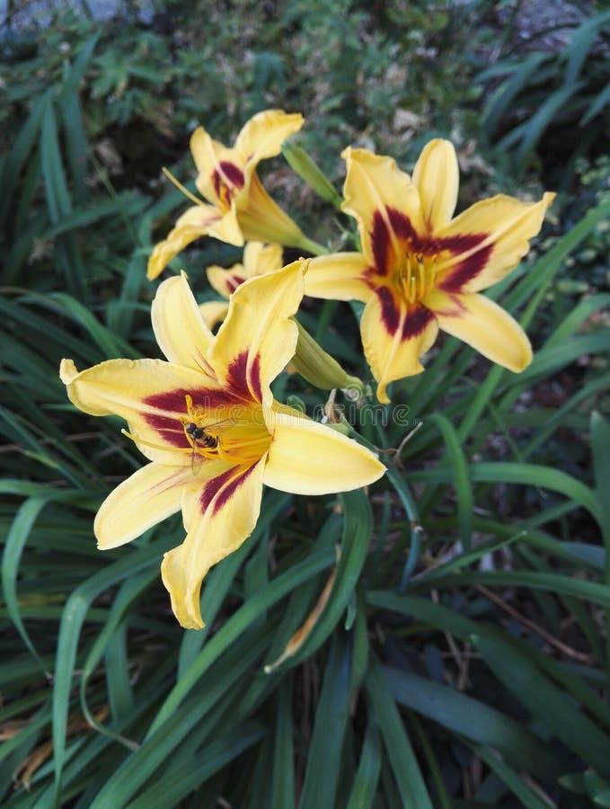 Aturdindo o amarelo e o vermelho do Hemerocallis do hemerocallis de dois tons visitou por um inseto fotos de stock royalty free