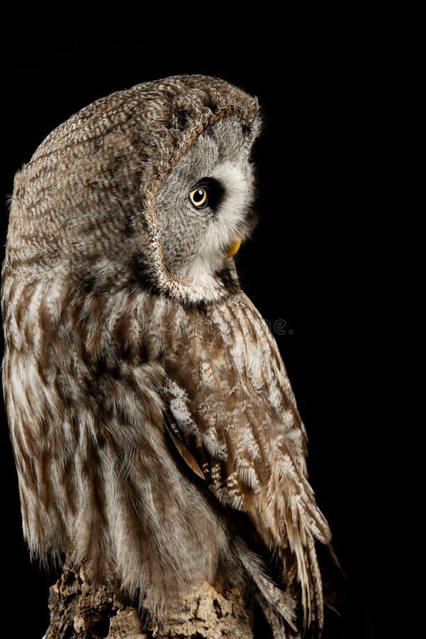 Aturdindo o retrato de grande Grey Owl Strix Nebulosa no ajuste do estúdio no fundo preto com iluminação dramática fotografia de stock