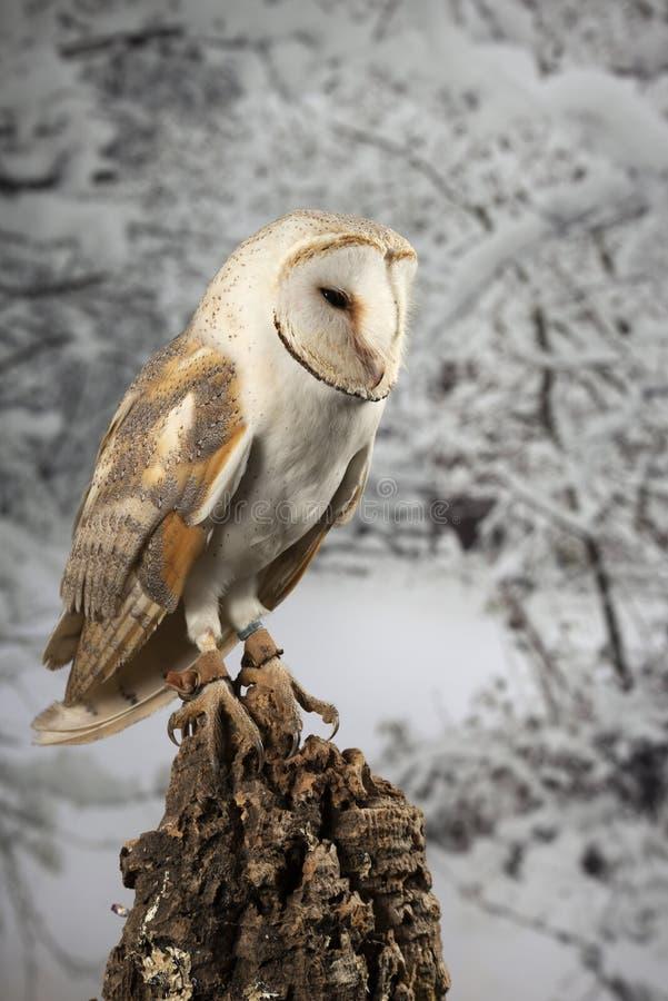Aturdindo o retrato de Owl Bubo Scandiacus nevado no ajuste do estúdio no backgorund nevado do inverno imagens de stock