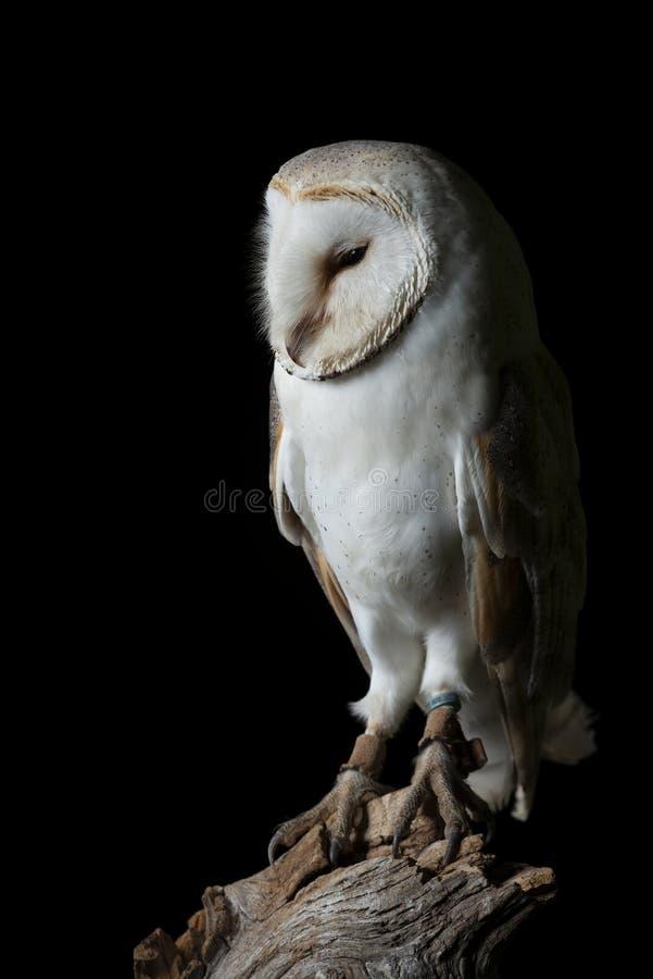Aturdindo o retrato de Owl Bubo Scandiacus nevado no ajuste do estúdio isolado no fundo preto com iluminação dramática foto de stock royalty free