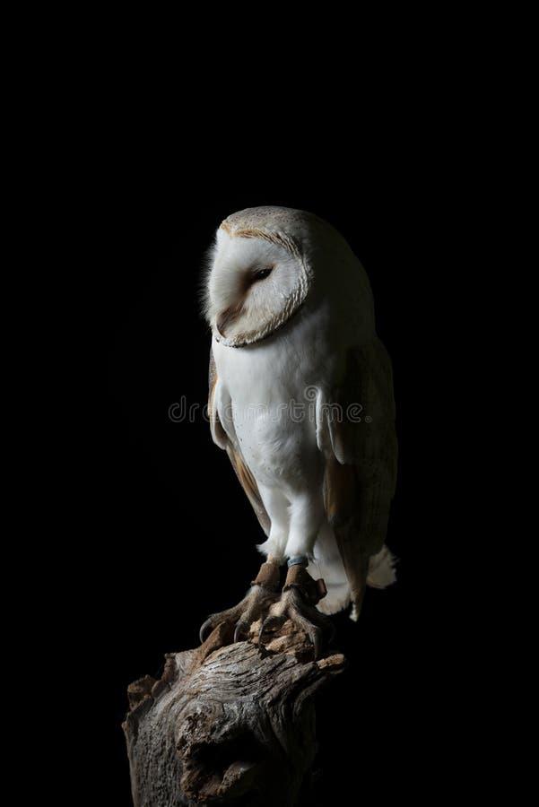 Aturdindo o retrato de Owl Bubo Scandiacus nevado no ajuste do estúdio isolado no fundo preto com iluminação dramática fotos de stock royalty free