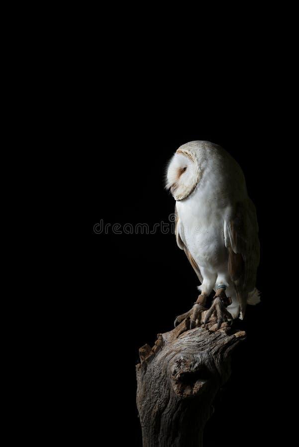 Aturdindo o retrato de Owl Bubo Scandiacus nevado no ajuste do estúdio isolado no fundo preto com iluminação dramática foto de stock