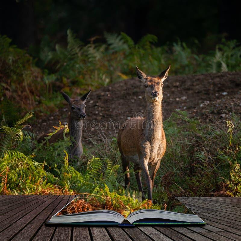 Aturdindo o retrato dos veados vermelhos traseiros na paisagem colorida da floresta do outono que sai de páginas no livro mágico  imagem de stock