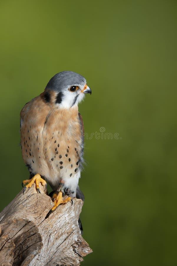 Aturdir el retrato del Falconidae americano del cern?calo en el ajuste del estudio con el fondo verde abigarrado de la naturaleza fotografía de archivo