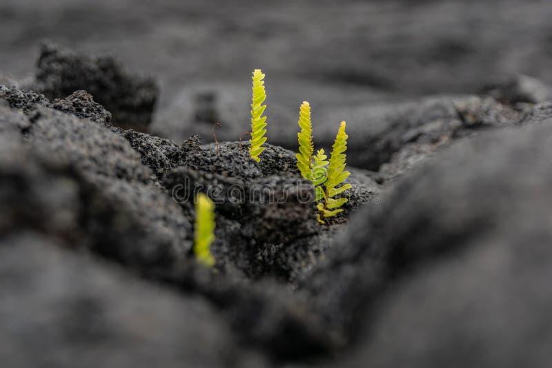 Aturdir la opinión del primer de los lanzamientos frescos de la planta que crecen fuera de un campo reciente de la erupción de la fotos de archivo libres de regalías