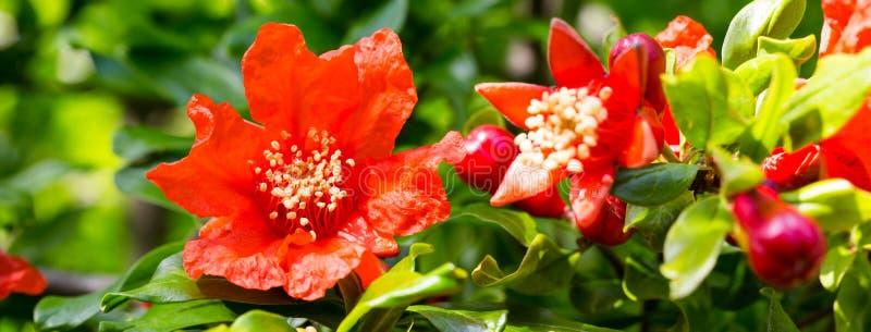 Aturdir las flores rojas brillantes en árboles de granada imagenes de archivo