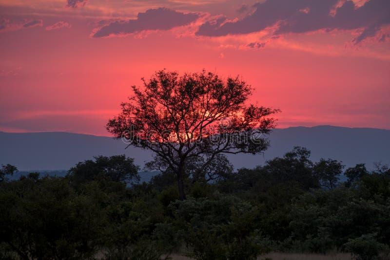 Aturdir rosa y puesta del sol roja en Sabi Sands Game Reserve, Kruger, Suráfrica fotos de archivo libres de regalías