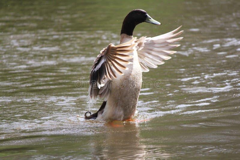 Atusarse el pato en el río fotos de archivo