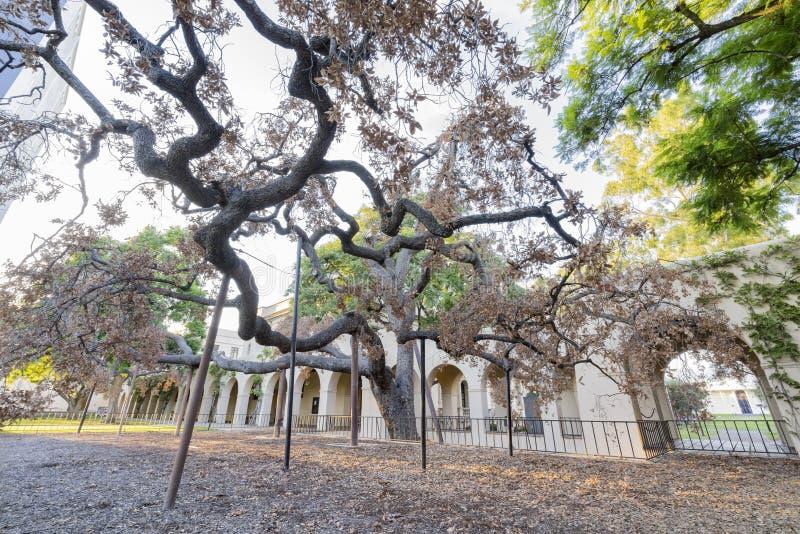 Außenansicht der 400 Jahre alter Engelmann-Eiche in Caltech lizenzfreies stockbild
