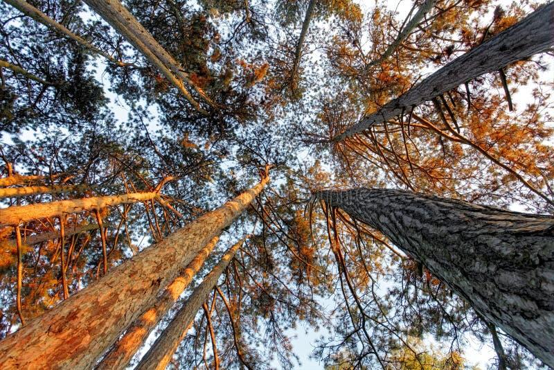 Au-dessous du pin dans la forêt à la chute photos libres de droits