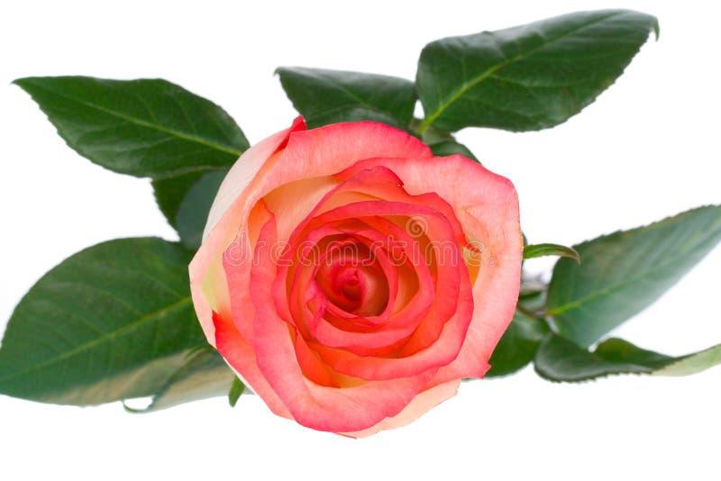 au-dessus du blanc haut rose rose proche de vue photos stock