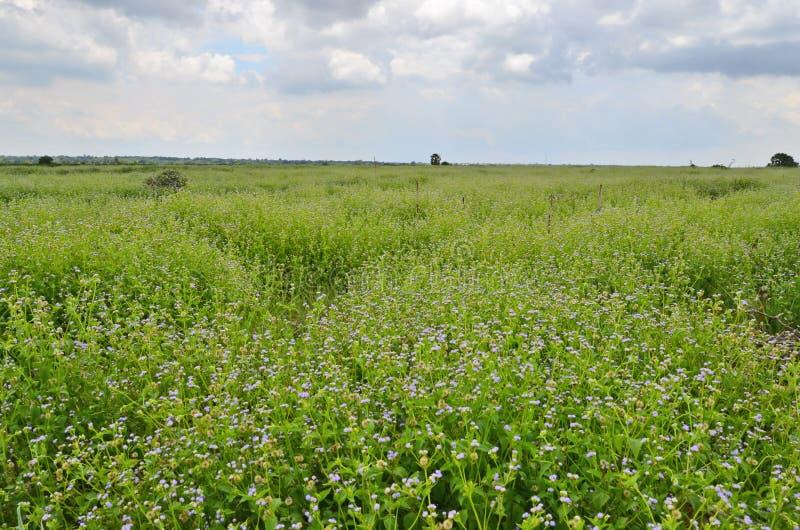 Au loin peu de gisement de fleur bleu sur la colline image libre de droits