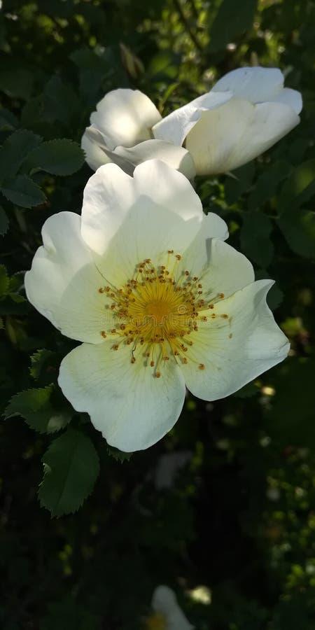 Aub?pine fleurissante Bush photographie stock