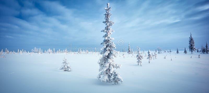 Aube bleue du nord de ton de gelée de sapin de panorama de forêt et de toundra d'hiver images libres de droits