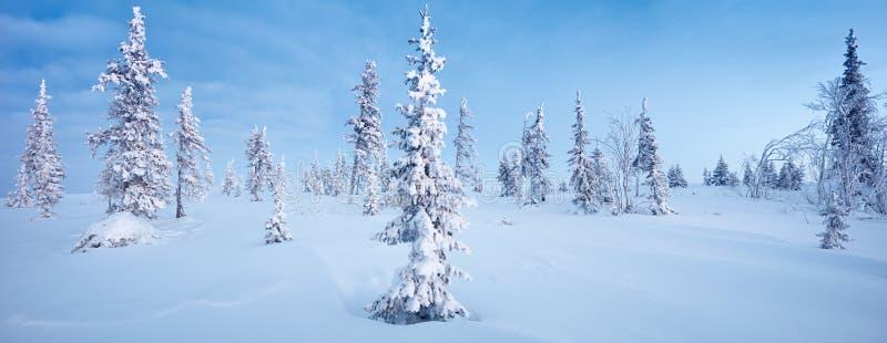 Aube bleue du nord de ton de gelée de sapin de panorama de forêt et de toundra d'hiver photographie stock libre de droits