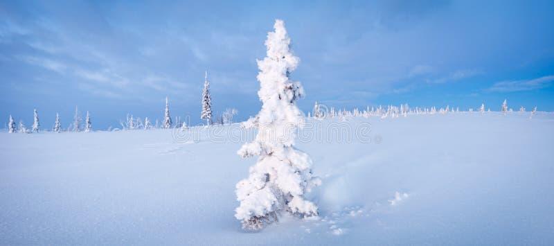 Aube bleue du nord de ton de gelée de sapin de panorama de forêt et de toundra d'hiver photos libres de droits