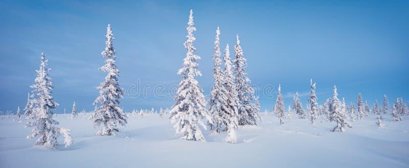 Aube bleue du nord de ton de gelée de sapin de panorama de forêt et de toundra d'hiver photo stock
