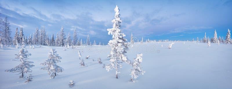 Aube bleue du nord de ton de gelée de sapin de panorama de forêt et de toundra d'hiver photo libre de droits