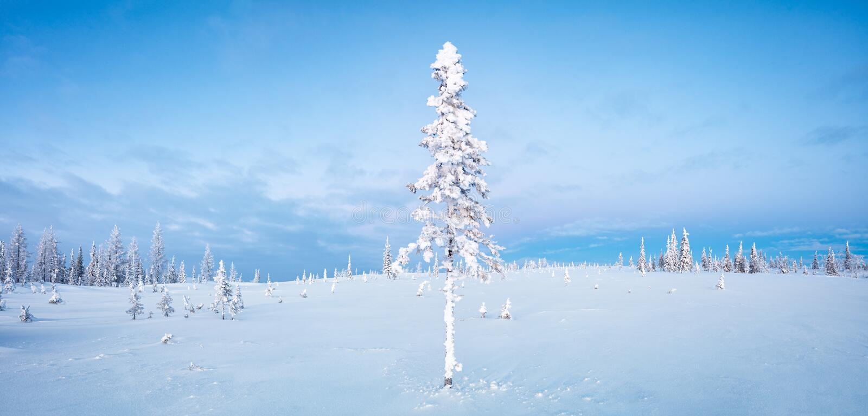 Aube bleue du nord de ton de gelée de sapin de panorama de forêt et de toundra d'hiver image libre de droits