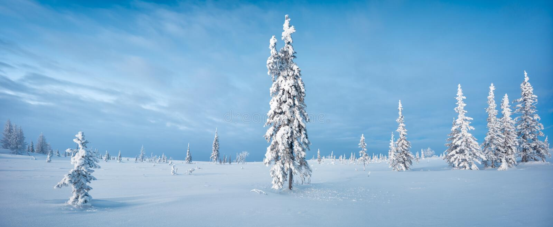 Aube bleue du nord de ton de gelée de sapin de panorama de forêt et de toundra d'hiver image stock
