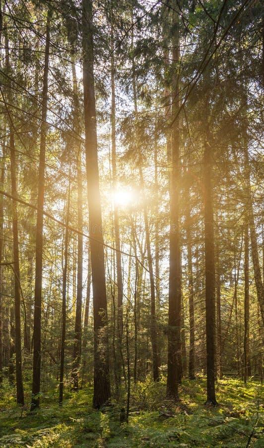 Aube dans la forêt avec le brouillard Lumière du soleil par les arbres lever de soleil dans la région boisée d'été avec la brume images stock