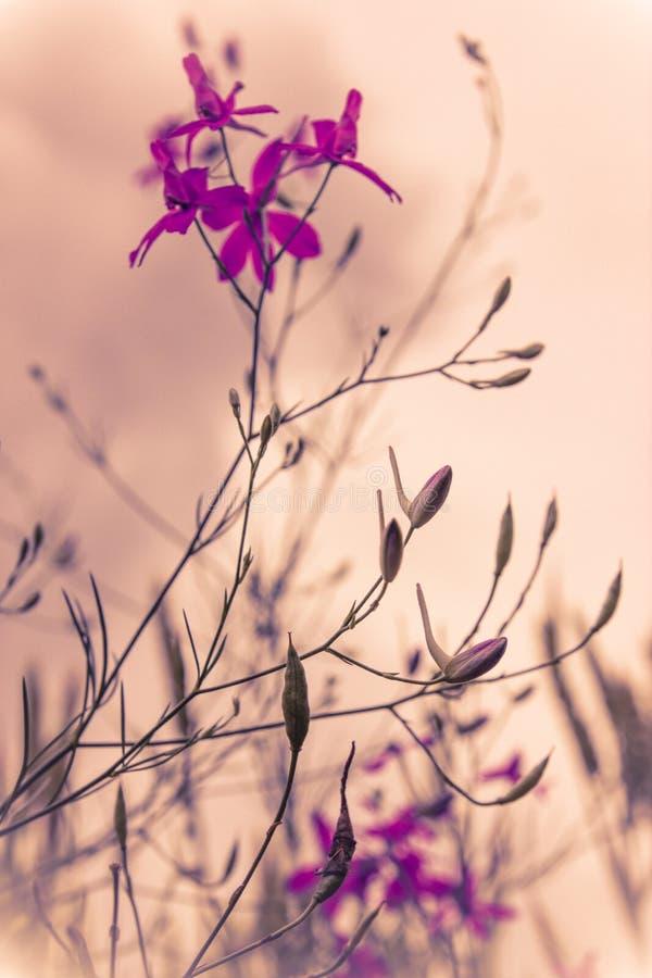 Aube de l'aurore avec les fleurs sauvages dans la couleur brumeuse violette photo libre de droits