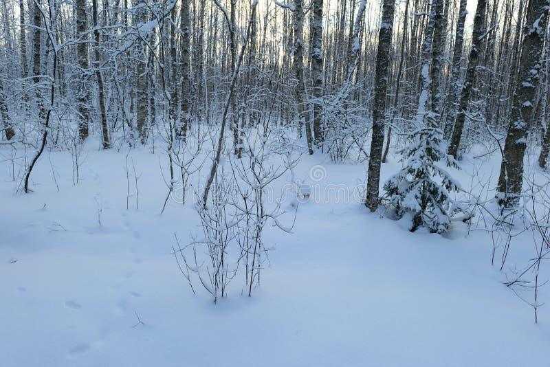 Aube de matin d'hiver de forêt de neige de bouleau photographie stock libre de droits