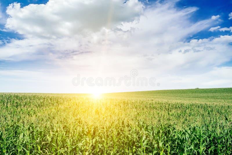 Aube lumineuse au-dessus de champ de maïs photos libres de droits