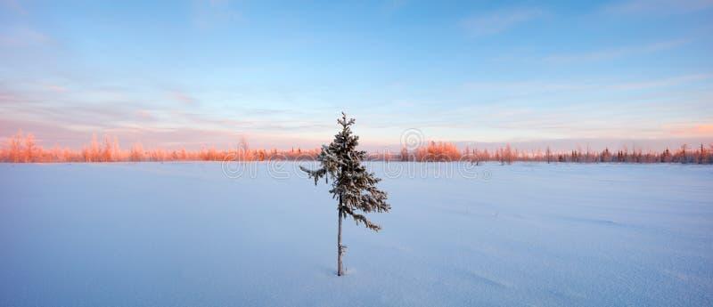 Aube rouge et bleue de gelée de sapin de panorama de toundra d'hiver de ton photographie stock libre de droits