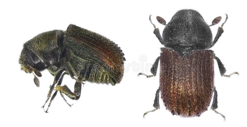 Aubei Phloeosinus жука расшивы стоковое изображение