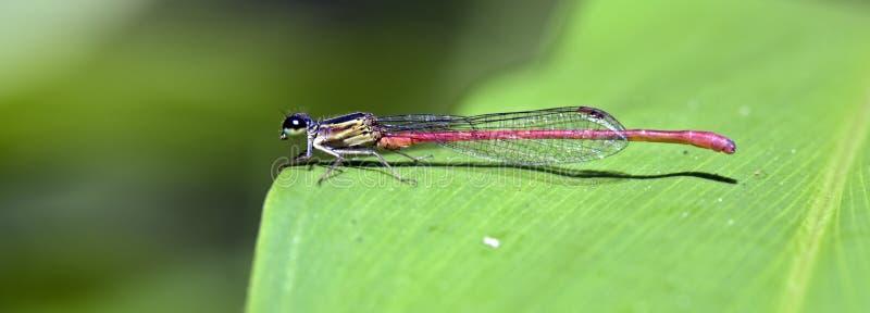 Auberge de libellule dans la feuille verte image stock