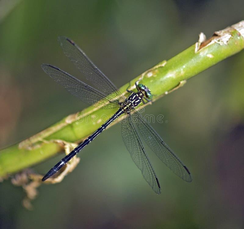 Auberge de libellule dans la feuille verte photographie stock