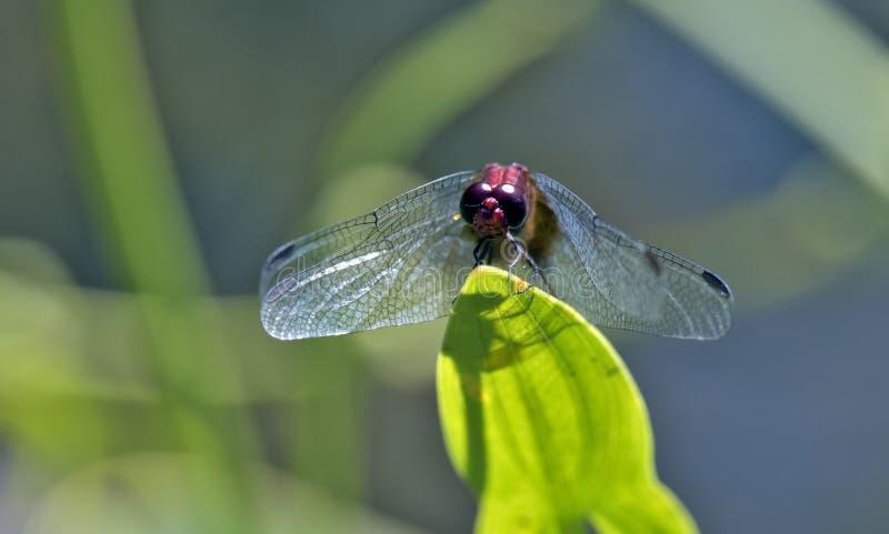 Auberge rouge de libellule dans la feuille verte images libres de droits