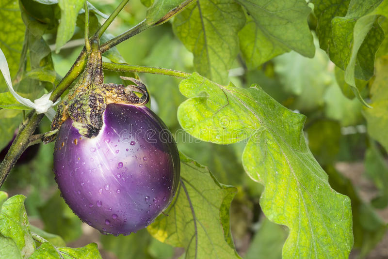 Download Aubergine photo stock. Image du aubergine, vitamine, manger - 76076370